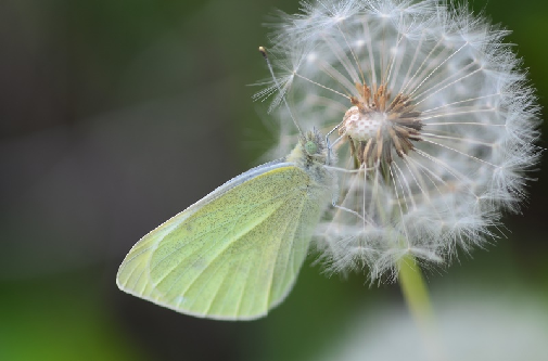belin (Pieris sp.)